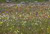 American Bistort, Tri-florum Geum and other wildflowers