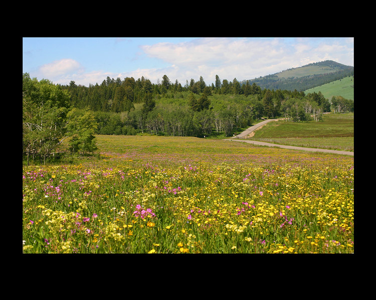 Great wildflower year in 2004 in Sawtelle Meadows, next to Henry's Lake, Idaho. Red Rock Pass road in the photo.