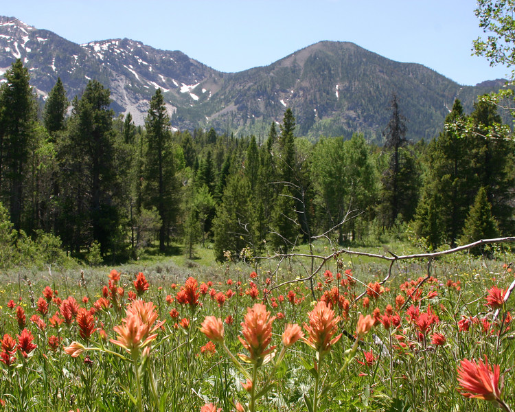 Field of Indian Paintbrush at the Continental Divide pass on Red Rock Road between Idaho and Montana.