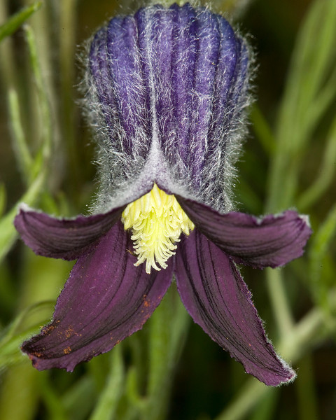 Vase Flower in Island Park, Idaho (Clematis hirsutissima)