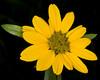Rocky Mountain dwarf Sunflower or Little Sunflower (Helianthella uniflora) in Island Park, ID, July 2009.