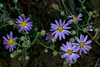 Hoary aster (Machaeranthera canescens) grows in great numbers along the North Valley road in the Red Rock Lakes Nat'l Wildlife Refuge. They are also found on the sand dunes. This patch was prolific on the Nature Conservancy's Sand dunes. July 30, 201..