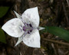 Elegant Mariposa Lily (Calochortus elegans)