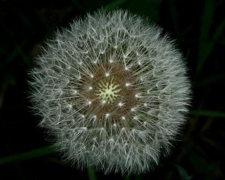 DandelionFur_119450