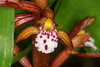 Spotted Coralroot flower
