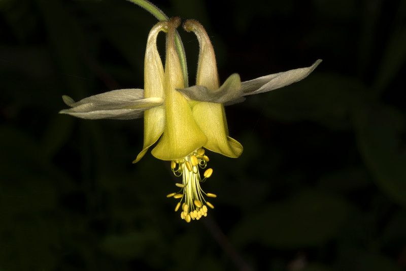 YellowColumbine_171015
