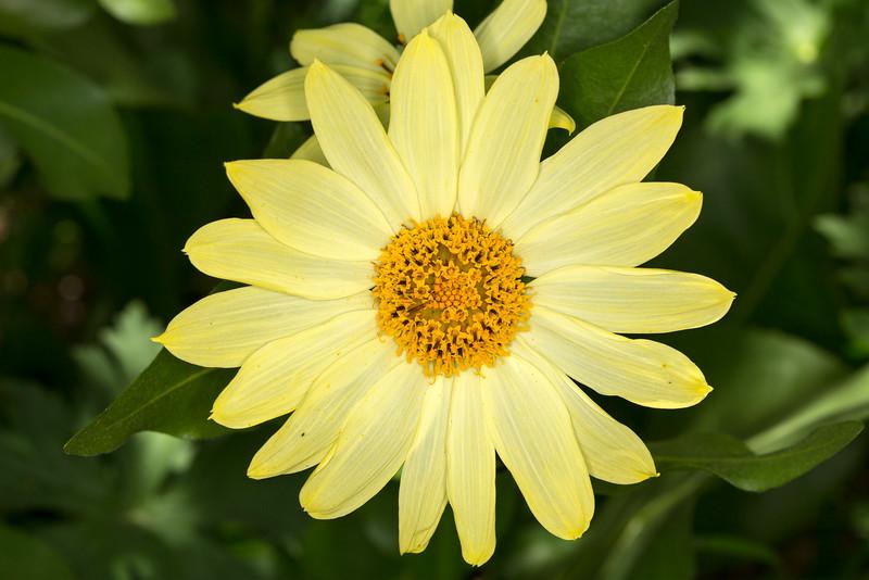 Mule's Ear's Hybrid wildflower