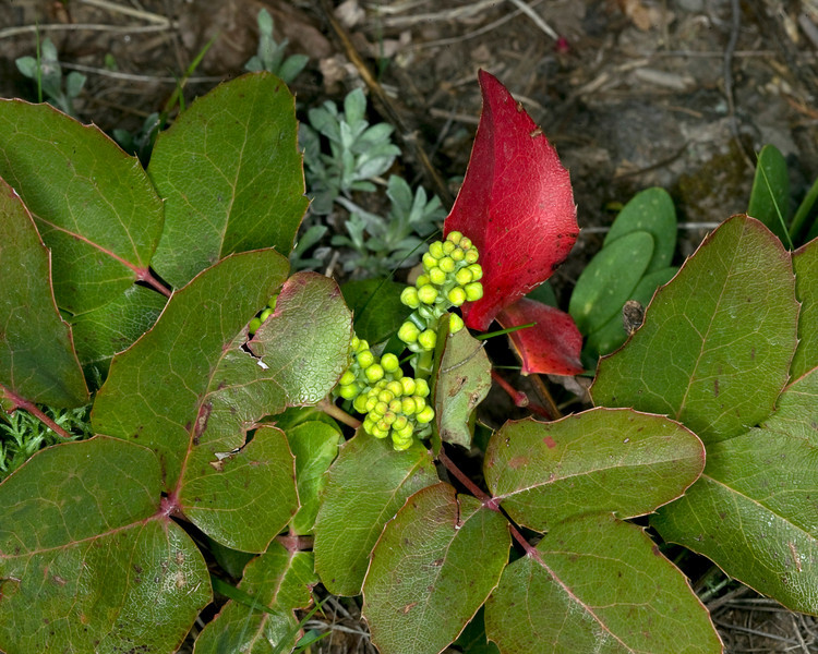 Oregon Grape just before it blooms with yellow flowers. May 2009