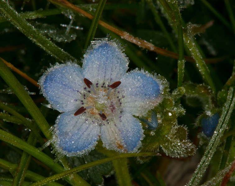 Ice Crystals growing on Baby Blue Eyes (Nemophila menziesii) (?) at Silent Valley Resort. Very low growing to the ground, blue bloom is smaller than a dime in size with hairy little undulating leaves. March 10, 2012 San Jacinto Mountain wildflowers.