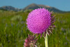 Musk  Thistle (Nodding Thistle) in Gravelly Range, MT