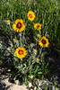 Indian Blanket Flowers wildflowers