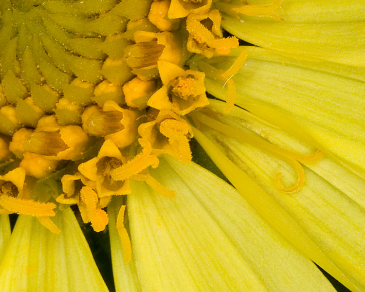 Closeup of Pale Yellow Mule's Ears flower showing stamens, pistols, etc. July 11, 2009 Idaho.