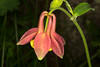 CrimsonColumbine_164021