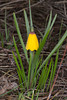 YellowBellID_138875