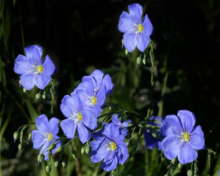 Wild Blue Flax, Idaho.