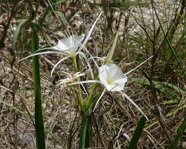 Spider Lily found along a road in the Aransas National Wildlife Refuge, along the Gulf Coast of Texas. April 2007