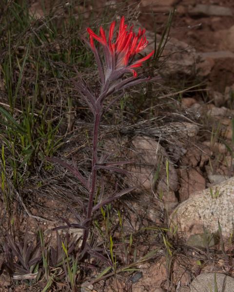 Lone desert paintbrush in high desert west of Blanding, Utah. May 1, 2010.