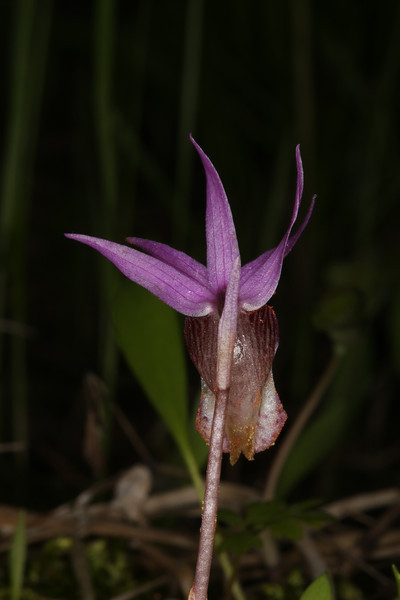 Back view of Fairyslipper Orchid (Calapso Bulbosa). May 2013