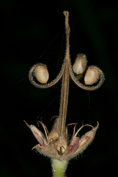 Sticky Geranium seed pod is expended but presents an interesting form. July 31, 2012. Idaho