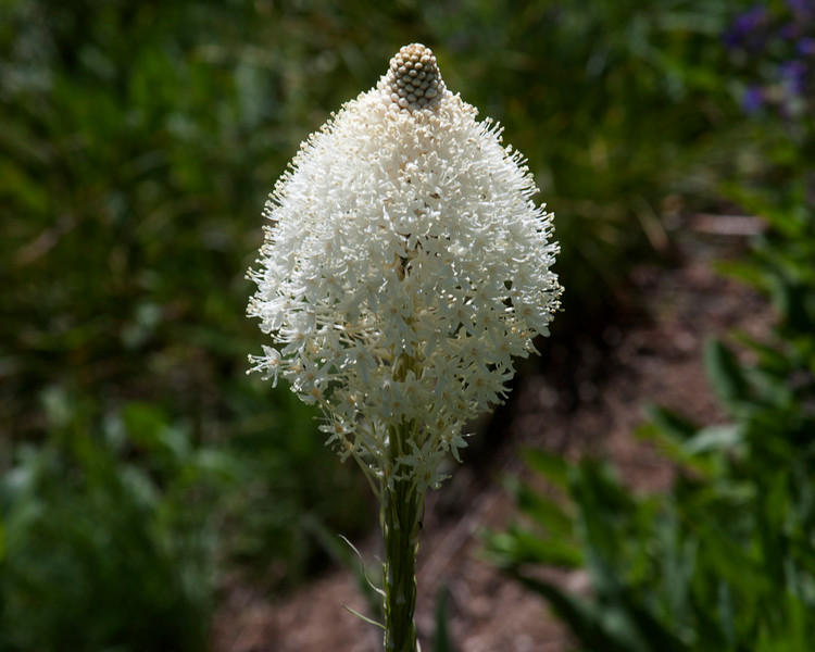 Beargrass (Xerophyllum tenax) bloom along the Lewis and Clark trail (Lolo Motorway) in Idaho at about 6500 feet in elevation. July 20, 2010.