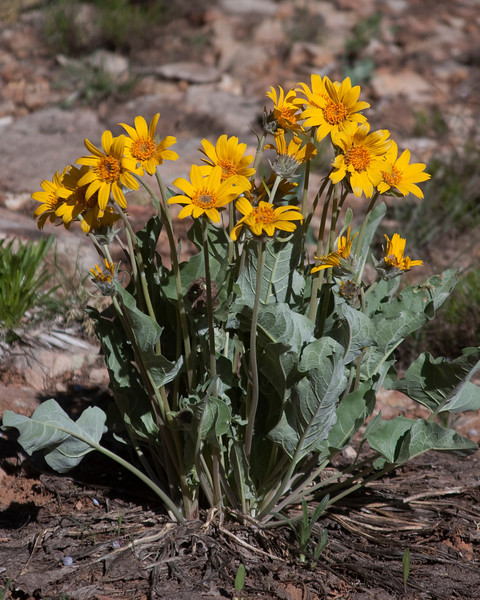 Arrowleaf Balsamroot plant growing in red sand east of Blanding, Utah. May 1, 2010.