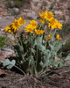 Arrowleaf Balsamroot plant growing in red sand east of Blanding, Utah. May 1, 2010.