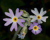 Mealy Primrose (Primula Incana)