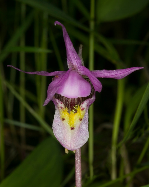 Fairy Slipper, (Calypso bulbosa)  Orchid. June 12, 2009