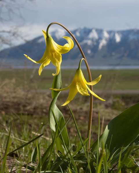 Glacier Lily with Henry's Lake and Black Mountain as background, near Island Park, Idaho. May 28, 2008