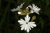 Woodland Star wildflowers