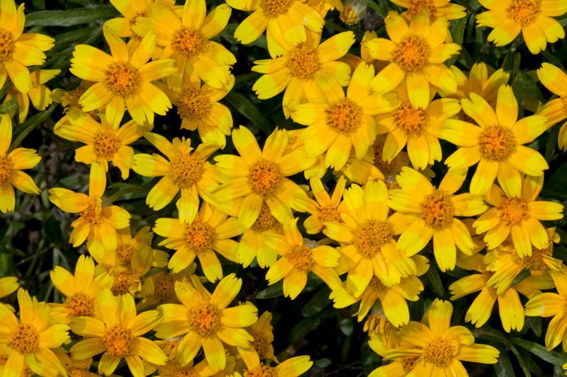 Stemless Sunflowers (Tetraneuris acaulis) growing along the side of Sawtelle Peak road in August 15, 2010. Island Park, Idaho.
