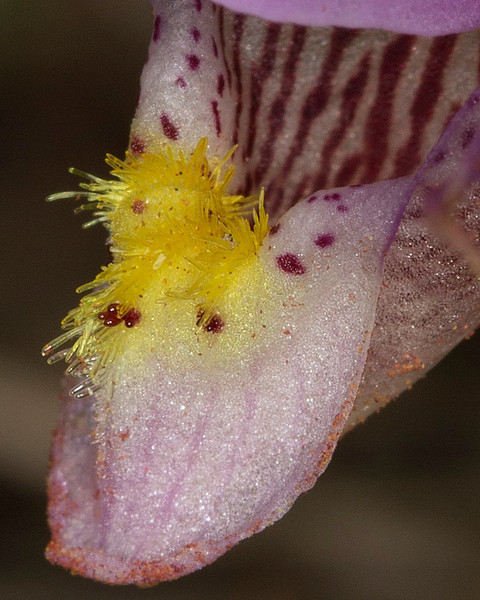 Fairyslipper (Calypso Bulbosa) closeup of attracting hairs on lower lip. May 2013