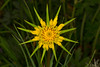 YellowSalsify_164345