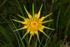 YellowSalsify_164345