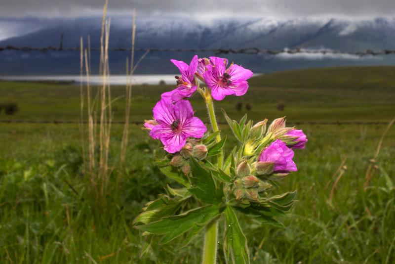 Sticky Geraniums wildflowers at Henrys Lake, Idaho. June 2012