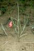 Painted Milkvetch (Astragalus ceramicus var. apus)