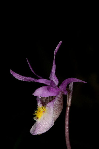 Fairyslipper orchid wildflower side view. Targhee Forest, Idaho near Henry's Lake. May, 2012.