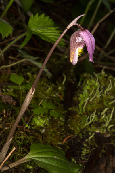 Fairy Slipper Orchid (Calypso bulbosa)