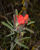 Woolly Indian paintbrush (Castilleja foliolosa) at Pinnacles National Monument on Jan 24, 2012. Early bloomer!