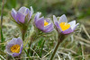 PasqueFlower_160104