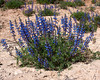 Prairie Lupine (?) along Cottonwood Road 15 mi west of Blanding, Utah near highway 95. May 1, 2010