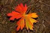 Sticky Geranium leaf displays fall colors, Targhee Forest, Idaho. September 22, 2012