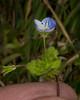 TinyBlueFlowerGrassAZ_125549