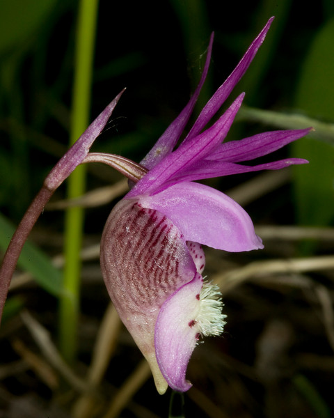 Fairyslipper, (Calypso bulbosa) Orchid. June 12, 2009 near Island Park, Idaho. Normally the hairs in the center are bright yellow, but this specimen is white.