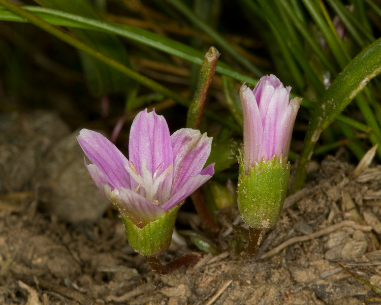 """Pygmy Bitterroot (Lewisia pygmaea) found on Continental Divide ridge above Henry's Lake on Montana/Idaho border. July 16, 2009  Flowers are about 1/4"""" in size. Leaves look like grass."""