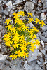 WoolySunflowerGravelly_171236