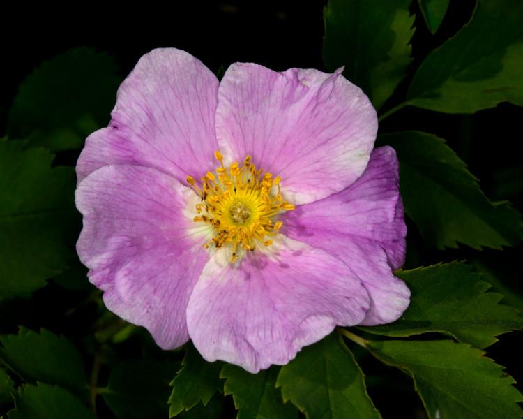 Wood's Rose. Red Rock Lakes National Wildlife Refuge. July 2010