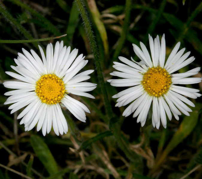 Buff Fleabane wildflower (Erigeron ochroleucus) along the road to Lower Lake campground in Red Rock Lakes National Wildlife Refuge. June 28, 2010.