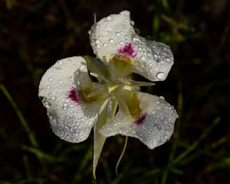 White Mariposa Lily (Calochortus eurycarpus) in rain