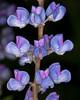 Silky Lupine